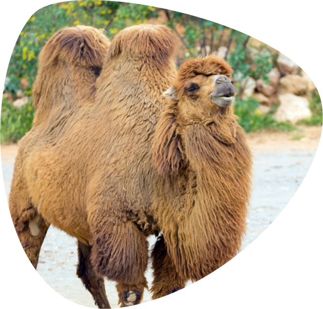 home_animals_Camel_Ovale2